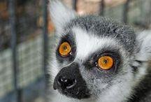 Ring-Tailed Lemurs / Sarasota Jungle Gardens hosts a variety of ring-tailed lemurs.