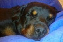 Aku - Donald / Rakas, edesmennyt rottweilerimme Aku - Our beloved rottweiler Donald 4.1.2005 - 26.11.2012