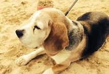 We love Beagles! / We love all animals here at Clik, but beagles hold a very special place in our hearts