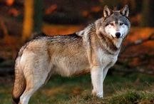 Wolves (wilki) / Absolutely, my favourite animals. I love them.
