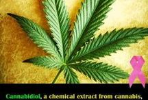Cannabis and Breast Cancer / As someone who has personally had breast cancer impact someone they love, I want as many people as possible to know the power of cannabis on breast cancer. Cannabis and cannabinoids (CBD) produced programmed cell death in breast cancer cells.