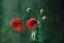gArden / pOppy / In Flanders fields the poppies blow  Between the crosses, row on row,  That mark our place; and in the sky  The larks, still bravely singing, fly  Scarce heard amid the guns below.