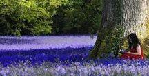 "bElgium / hAllerbos"" Bluebell Forest"" / * Bluebell forest *"