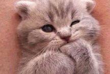 Katte / Fordi British Shorthair ikke er til at stå for
