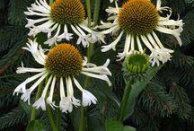 Blomster til haven / Fordi solhat er en fantastisk blomst.