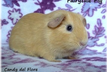 Fairytale Pigs / My little breeding of lovely guinea pigs ♥