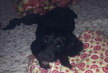 My puppy / Labradoodle, black-silver, Barnabáš ( Barny)