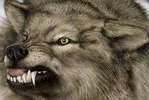Wolf. / Ulv eller gråulv er et stort rovpattedyr i hundefamilien. Arten sorterer i hundeslekten og regnes i dag som et artskompleks, som består av flere distinkte klader og kryptiske arter, der forholdet til selve arten ikke regnes som endelig avklart. Wikipedia Vitenskapelig navn: Canis lupus Levetid: 5 – 6 år (I naturen) Hastighet: 50 – 60 km/t (Løpende) Høyde: 80 – 85 cm (Voksen, Skulderhøyde) Masse: Hanndyr: 30 – 80 kg (Voksen), Hunndyr: 23 – 55 kg (Voksen)