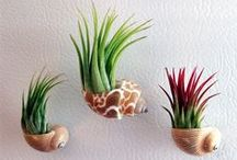 ❁ Green Thumb ❁  AIR PLANTS / Plants that need no soil, nature is amazing!