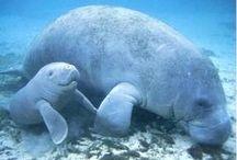 Manatee / Dugong