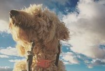 Doodles Do America / Costello's quest to be the first goldendoodle to travel to all 50 states.