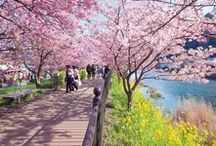 "Cherry Blossoms in Japan / The cherry blossom trees are the main attraction of any Spring trip to Japan. The parks of Tokyo and Kyoto fill with visitors admiring the pink trees and everyone rejoices at the arrival of the ""sakura"" and warmer weather."