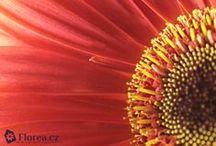 Gerbera / Fotografie gerber z e-shopu www.florea.cz