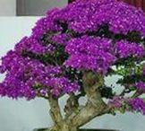 """♥ BONSAI ♥ / ♥ Bonsai, je fascinující umělecká forma, která je kombinací zahradní techniky a asijské estetiky. Pochází z čínské říše před více než 1000 lety a byl kopírován a upraven Japoncem k tomu, co dnes známe jako bonsaje. """"BON - SAJ"""" znamená zasadit do nádoby. Tento koníček je na velmi, velmi dlouhá léta ♥"""
