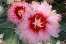 Cactus Flowers / Colorful flowers of Southwest cacti, from California, Arizona, New Mexico and Texas