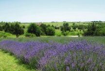 Places to Visit / Visit Lavender Farms, websites, and more.....