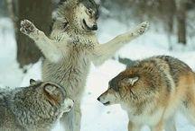Animals / Favourite animal: Wolf.