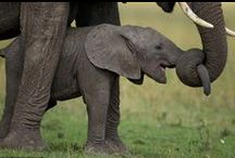 Elephants <3