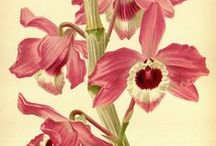 Art&Orchids / Orchids have inspired thousands of artists all through the centuries