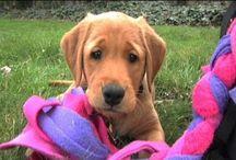 GUGP - Ricki Vids / Web Season starring Ricki the guide dog puppy