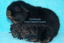 Our Guinea Pigs/Comb. Furry Friends Forever / I love guinea pigs and I breed with some of them. The breeds I have are US Teddy, English Crested and Selfs in different colours like black & tan, lilac & tan, black-red-white, lilac-gold-white (quadri foglio), danish Blue and california guinea pigs in different colours.