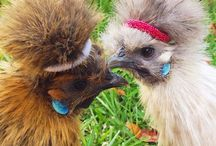 Silkie Chickens / All about Silkie chickens: tips for their care; characteristics of hens, roosters and babies; Silkies as broody mamas; do they make good pets; are they child-friendly; types and colours, and what their eggs are like.   Silkies are the sweetest chickens - enjoy!
