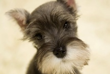 Pets... Min. Schnauzer  / by Samantha Goodspeed