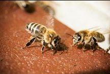 SalviamoLeApi.org / Perdono l'orientamento, non hanno più memoria olfattiva, crescono con malformazioni e muoiono. Sempre più minacciate dai pesticidi chimici utilizzati nell'agricoltura industriale, le api stanno scomparendo. Per salvarle, abbiamo lanciato il sito www.SalviamoLeApi.org  / by Greenpeace Italia