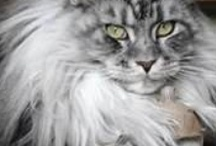 Maine Coons...the gentle giants / The most loving and dedicated companions.