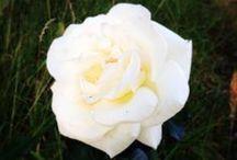 Flowers / Större delen från min trädgård / Most from my rose garden
