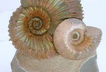 Ammonites...