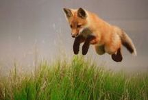 foxes / All type of foxes, the four legged version! / by hillbillycoinsandbooks