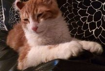 Ziggy -My American Curl- / Cats American Curl