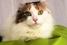 Priscilla -My American Curl- / Cats American Curl