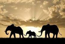 Elephants / Stop ivory poaching.