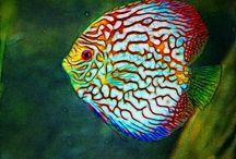 Fish Discus