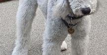 Bedlington Terrier a spol