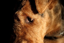 Airedalenterrieri / I just love the way airedales look like.