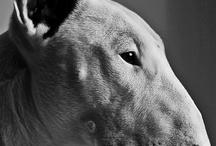 Bullterrieri / One of my favourites