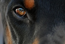 Dobermanni / I had (with my ex) one of these. He was the kindest dobermann I had ever seen.