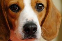 Beagle / My first dog was beagle. Still miss her.
