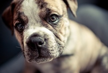 Amerikanpitbullterrieri / American pitbull terrier & American staffordshiren terrier