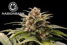Nasiona Marihuany Automaty / Tablica przedstawia odmiany nasion marihuany dostępne w Banku Nasion