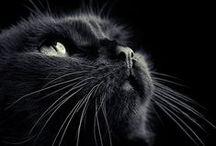 Cats / El gato o gato doméstico, es una subespecie de mamífero carnívoro de la familia Felidae. El gato está en convivencia cercana al ser humano desde hace unos 9500 años,2 periodo superior al estimado anteriormente, que oscilaba entre 3500 y 8000 años.
