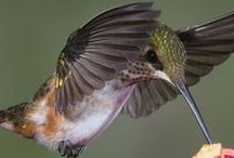 Happy Hummingbirds / Who doesn't love these little gems? Hummingbirds are so cool they need their own board.