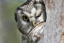 Owls  ( Nocturnal Raptors) / by Pam McFadzean