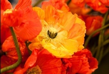 """And they call it """"Poppy Love"""" / by Pam McFadzean"""