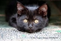 Black Cats are Good Luck / Black Cats are gorgeous & have fabulous loving personalities.  Please adopt or rescue a black cat if possible.   Owner of SCHAEF DESIGNS JEWELRY online ~ www.schaefdesigns.com Pet Lovers Jewelry / by Bobby Schaefer Schaef Designs Jewelry.com