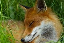 FOXES fluffy furcoated, fairylike dogs...I only once was allowed to met in the wild!