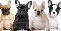 FRENCH BULLDOGS / French Bulldog fun stuff is shared here. Pictures, historical info and yep, The Blissful Dog products that are designed with Frenchies in mind. As a 30 + year Frenchie owner, I admit to a wee bit of favoritism here!